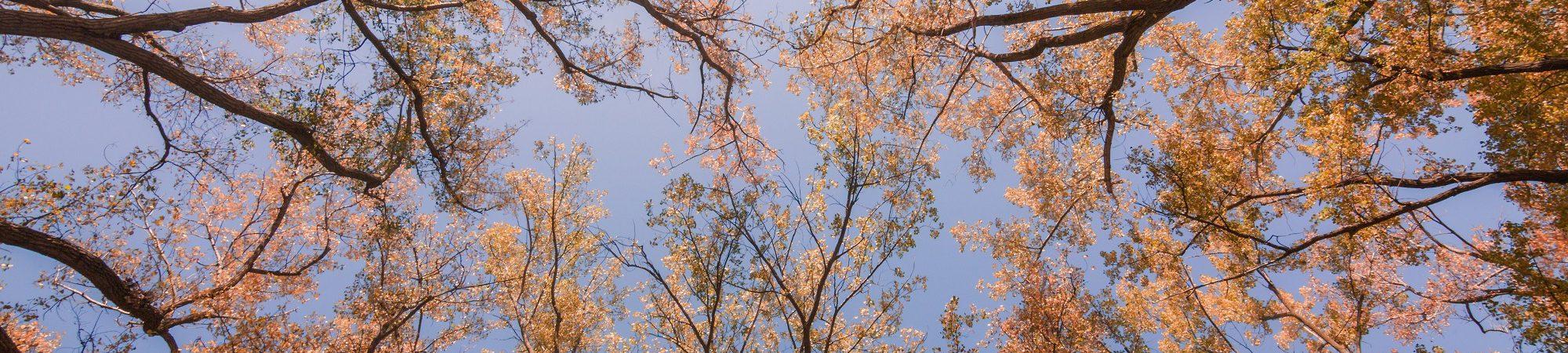 Les cimes d'arbres se détachent sur un ciel bleu