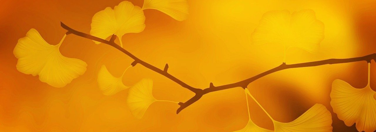Une branche de ginkgo dans la lumière du matin